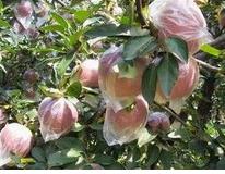 五代红星苹果