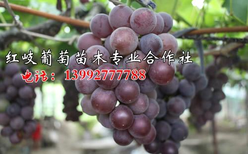 红提葡萄苗果实品质好不好呢?